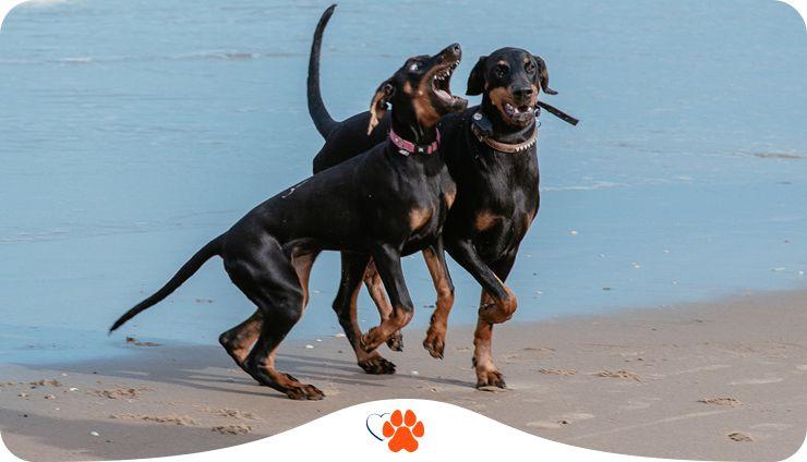 Бойцовские собаки. Основные породы. Что объединяет этот вид собак