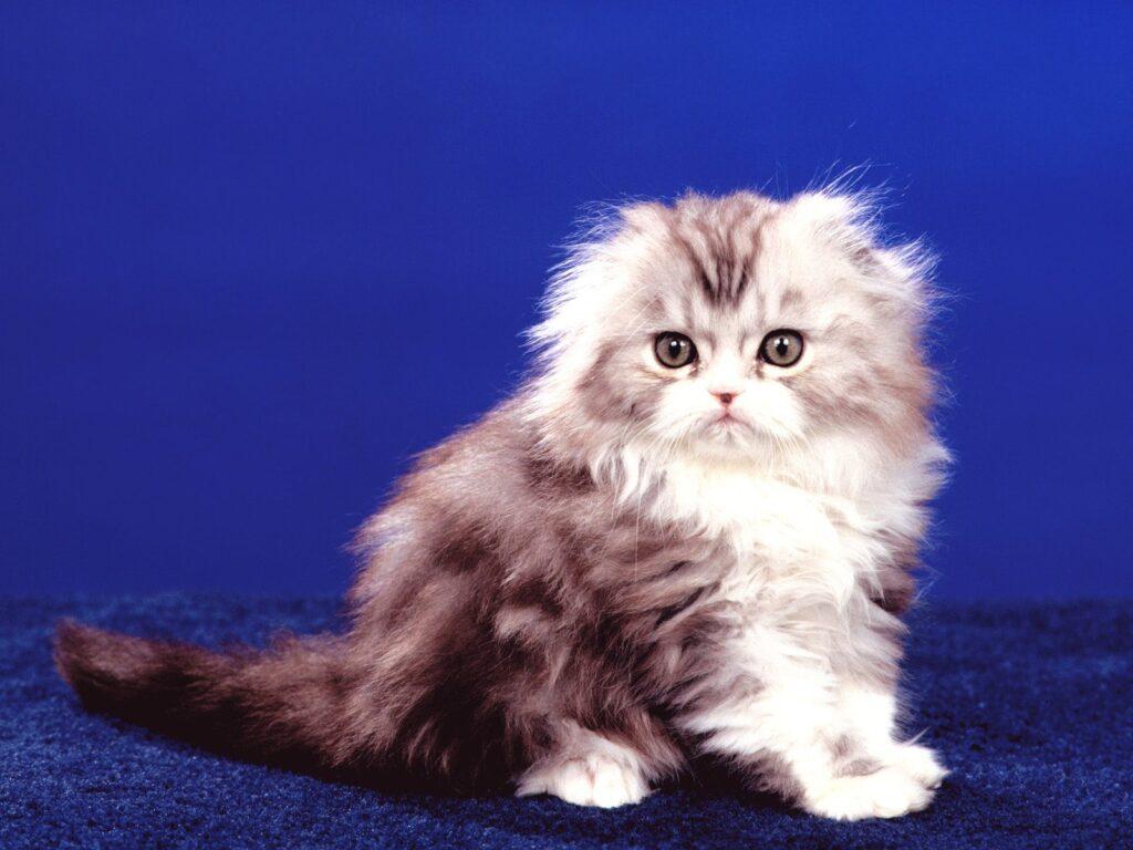 highland-fold-kitten