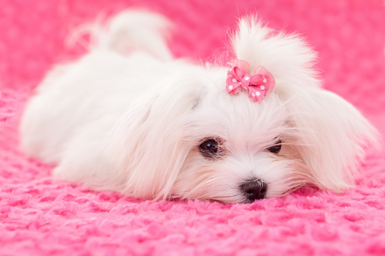 pedigree maltese dog