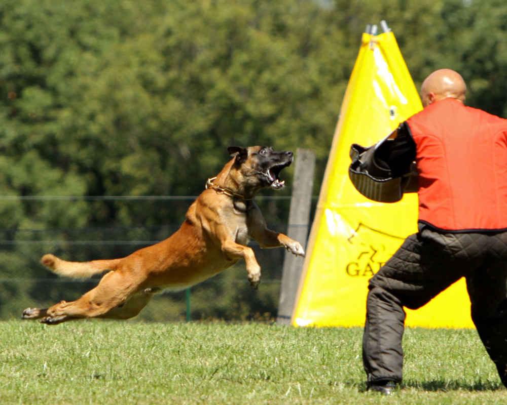 training-belgian-shepherd-malinois