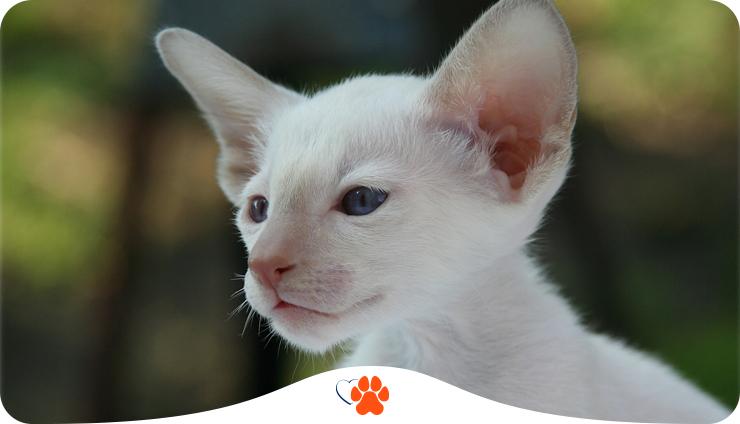 Сіамська кішка. Що треба знати про породу