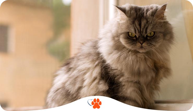 Персидская кошка — все о породе