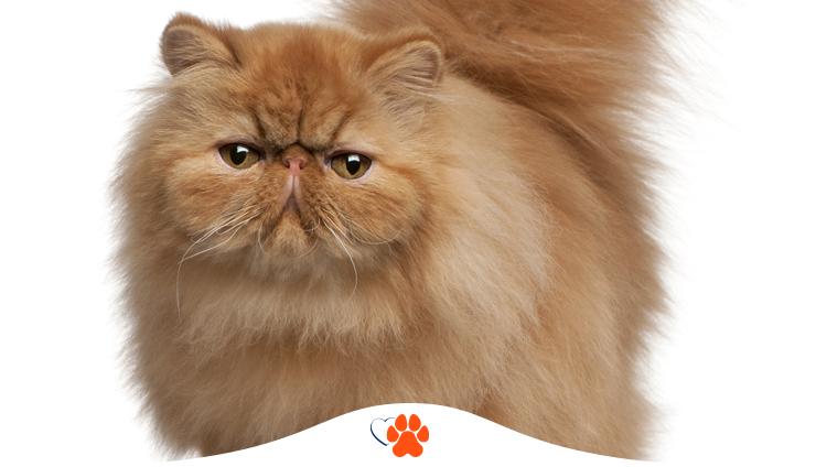 Персидская кошка — экстремальный тип