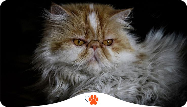 Персидская кошка — современный тип